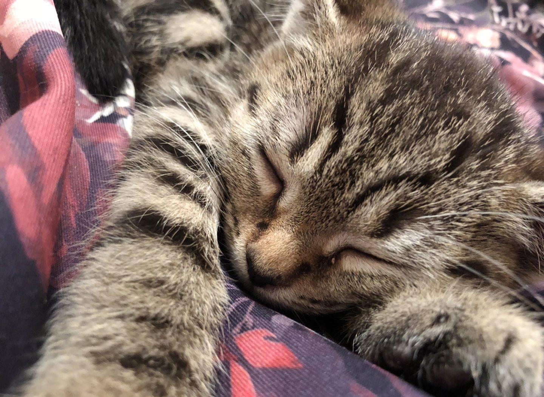 meowth the tabby kitten