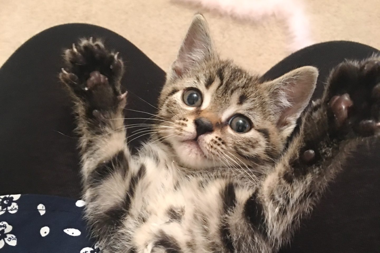meowth the kitten