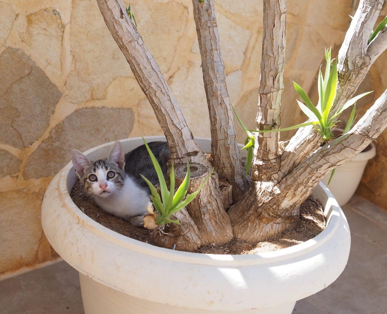Crete kittens